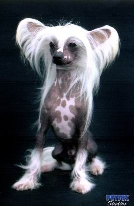 Chinese Crested Hairless Dog For Sale Australia