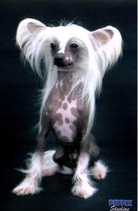 Crested Dog For Sale